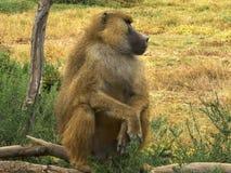 Μια κίτρινη baboon συνεδρίαση κατακόρυφα στο amboseli στοκ φωτογραφία με δικαίωμα ελεύθερης χρήσης