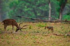 Μια καθαρή εικόνα ινδικού Jackal, τα χρυσά και επισημασμένα ελάφια Canis αντιμετωπίζουν στοκ φωτογραφία με δικαίωμα ελεύθερης χρήσης