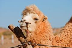 Μια καμήλα Στοκ φωτογραφία με δικαίωμα ελεύθερης χρήσης