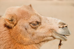 Μια καμήλα Στοκ Φωτογραφίες