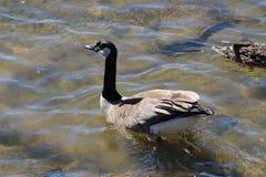 Μια καναδική χήνα κολυμπά στο ήρεμο επίπεδο νερό στοκ φωτογραφίες με δικαίωμα ελεύθερης χρήσης