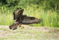 Μια καρακάξα κυνηγά στοκ φωτογραφία με δικαίωμα ελεύθερης χρήσης