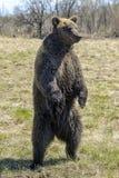 Μια καφετιά αρκούδα δασικό μεγάλο στον καφετή αντέχει Στοκ φωτογραφία με δικαίωμα ελεύθερης χρήσης