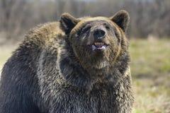 Μια καφετιά αρκούδα δασικό μεγάλο στον καφετή αντέχει Στοκ Φωτογραφίες