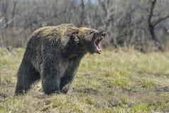 Μια καφετιά αρκούδα δασικό μεγάλο στον καφετή αντέχει Στοκ Εικόνες