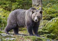 Μια καφετιά αρκούδα στο δάσος Στοκ Εικόνες