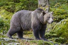 Μια καφετιά αρκούδα στο δάσος Στοκ φωτογραφία με δικαίωμα ελεύθερης χρήσης
