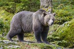 Μια καφετιά αρκούδα στο δάσος Στοκ εικόνα με δικαίωμα ελεύθερης χρήσης