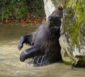 Μια καφετιά αρκούδα στο δάσος Στοκ Εικόνα