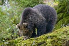 Μια καφετιά αρκούδα στο δάσος Στοκ εικόνες με δικαίωμα ελεύθερης χρήσης