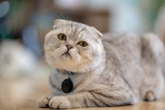 Μια καφετιά γάτα κάθεται ευτυχώς στο πάτωμα στο δωμάτιο στοκ εικόνα
