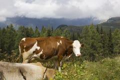 Μια καφετιά και άσπρη αγελάδα στην υψηλή χλόη στοκ εικόνα