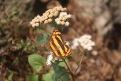 Μια καφετιά και άσπρη ριγωτή πεταλούδα σε ένα λουλούδι Στοκ Εικόνα