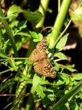 Μια καφετιά πεταλούδα στο πράσινο φύλλο στοκ φωτογραφία