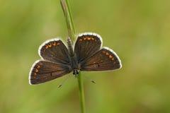 Μια καφετιά πεταλούδα & x28 Argus Aricia agestis& x29  Στοκ φωτογραφίες με δικαίωμα ελεύθερης χρήσης