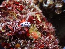 Μια καλή ράβδωση Ovula (ωάριο) Στοκ Εικόνες