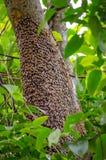 Μια κηρήθρα που στηρίζεται σε ένα δέντρο από τις μέλισσες μελιού στις φωλιές τους για να περιέχει τις προνύμφες και τα καταστήματ στοκ φωτογραφία με δικαίωμα ελεύθερης χρήσης