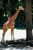 Μια κινηματογράφηση σε πρώτο πλάνο ενήλικο giraffe που στέκεται εκτός από ένα δέντρο στοκ φωτογραφία με δικαίωμα ελεύθερης χρήσης