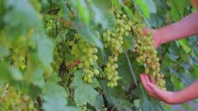 Μια κινηματογράφηση σε πρώτο πλάνο μιας συστάδας των σταφυλιών σε έναν αμπελώνα Παραγωγή του κρασιού, άσπρη ποικιλία σταφυλιών, λ απόθεμα βίντεο
