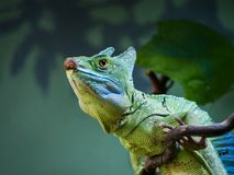 Μια κινηματογράφηση σε πρώτο πλάνο σε μια συνεδρίαση iguana σε ένα γαλλικό κλειδί στην μαλακός-εστίαση στοκ εικόνα