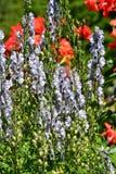 Μια κινηματογράφηση σε πρώτο πλάνο του ανοικτό μωβ λουλουδιού ακονίτων στοκ φωτογραφία με δικαίωμα ελεύθερης χρήσης