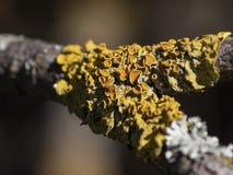 Μια κινηματογράφηση σε πρώτο πλάνο του κίτρινου παρασιτικού μύκητα δέντρων σε έναν κλάδο δέντρων στοκ εικόνα με δικαίωμα ελεύθερης χρήσης