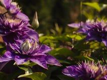 Μια κινηματογράφηση σε πρώτο πλάνο των πορφυρών λουλουδιών Clematis στοκ εικόνα με δικαίωμα ελεύθερης χρήσης