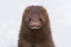 Μια κινηματογράφηση σε πρώτο πλάνο ενός χαριτωμένου άγριου ζώου βιζόν που στέκεται στο χιόνι Στοκ εικόνα με δικαίωμα ελεύθερης χρήσης