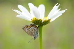 Μια κινηματογράφηση σε πρώτο πλάνο της πεταλούδας (plebejus Argus) στο άσπρο camomile λουλούδι Στοκ Φωτογραφίες