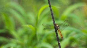 Μια κιτρινωπή μύγα δράκων σε έναν μίσχο στοκ εικόνες