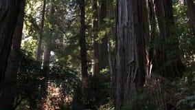 Μια κλίση επάνω στον πυροβολισμό των παράκτιων δέντρων redwood απόθεμα βίντεο