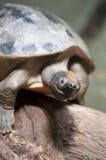 Μια κλειστή επάνω χελώνα Στοκ Φωτογραφίες