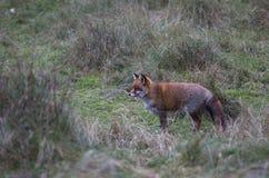 Μια κοινή κόκκινη αλεπού Στοκ εικόνα με δικαίωμα ελεύθερης χρήσης