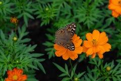 Μια κοινή πεταλούδα Buckeye στοκ εικόνες
