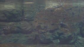 Μια κολύμβηση penguin υποθαλάσσια απόθεμα βίντεο