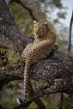 Μια κυρίαρχη αρσενική λεοπάρδαλη στηρίζεται σε ένα δέντρο στοκ φωτογραφία