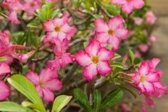 Μια κόκκινη έρημος αυξήθηκε (Adenium), ροζ λουλούδι ερήμων Στοκ Φωτογραφία