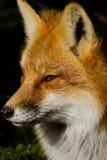 Κόκκινο πορτρέτο αλεπούδων στοκ φωτογραφίες