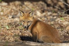 Μια κόκκινη εξάρτηση Vulpes αλεπούδων vulpes που στέκεται μπροστά από το κρησφύγετό του βαθιά στο δάσος την πρώιμη άνοιξη στον Κα στοκ εικόνες
