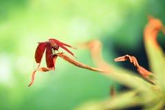 Μια κόκκινη λιβελλούλη σε ανάπαυση σε ένα φύλλο στοκ εικόνα