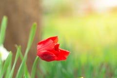 Μια κόκκινη τουλίπα άρχισε τα πέταλα σε έναν ήλιο κήπων την άνοιξη Πράσινο υπόβαθρο χλόης Κάρτα ή υπόβαθρο Creeting στοκ εικόνα με δικαίωμα ελεύθερης χρήσης