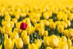 Μια κόκκινη τουλίπα στέκεται σε έναν τομέα των κίτρινων τουλιπών Στοκ φωτογραφία με δικαίωμα ελεύθερης χρήσης