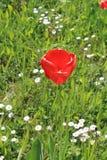 Μια κόκκινη τουλίπα Στοκ εικόνες με δικαίωμα ελεύθερης χρήσης