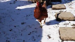 Μια κότα αιωρείται το περπάτημα στο φράκτη απόθεμα βίντεο