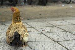 Μια κότα και ένα κοτόπουλο στο πεζοδρόμιο του δρόμου Στοκ εικόνες με δικαίωμα ελεύθερης χρήσης