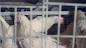 Μια κότα περπατά μέσω άλλων κοτών σε ένα κλουβί απόθεμα βίντεο
