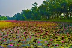 Μια λίμνη γεμίζει με τους ρόδινους κρίνους νερού & x28 Rubra Nymphaea & x29  αυτό το είδος λουλουδιού κάλεσε επίσης shaluk ή shap στοκ φωτογραφία με δικαίωμα ελεύθερης χρήσης