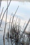 Μια λίμνη με τους καλάμους στην αυγή το φθινόπωρο Στοκ εικόνες με δικαίωμα ελεύθερης χρήσης
