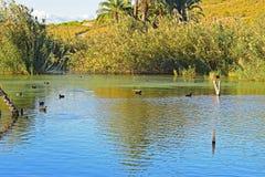 Μια λίμνη παπιών που θέτει για ένα υπόβαθρο στοκ εικόνες