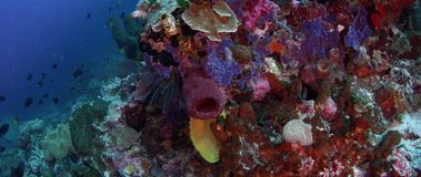 Μια λαμπρά χρωματισμένη κοραλλιογενής ύφαλος με τα σφουγγάρια, τα σκληρά κοράλλια και τα μαλακά κοράλλια απόθεμα βίντεο
